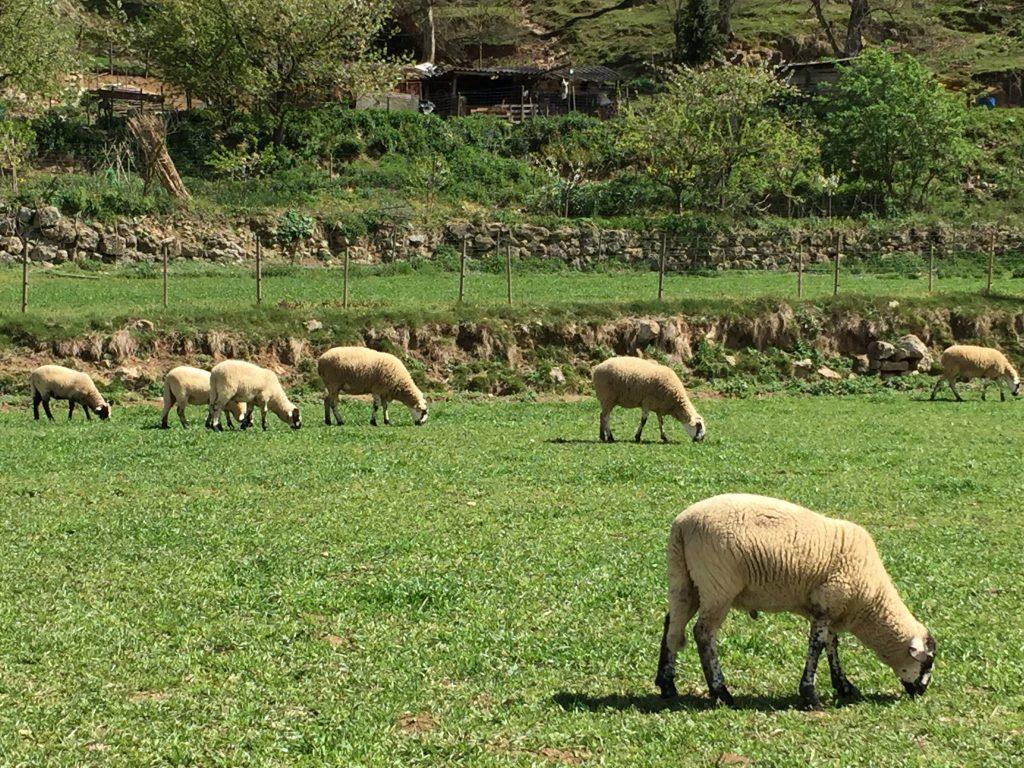 Pecore Catalogna ruta del carrilet