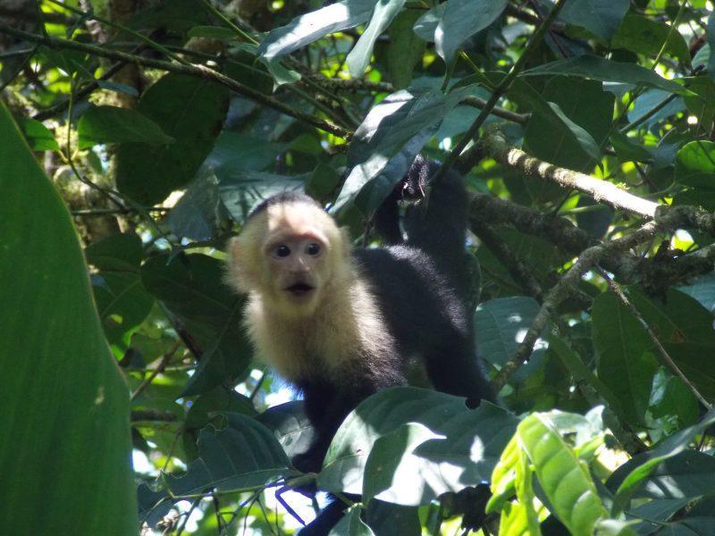 Monkey costa rica